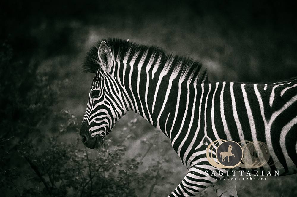 Young Zebra by the bush , S Africa