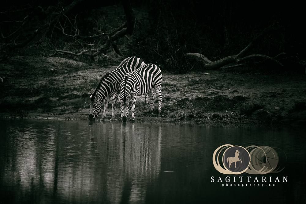 Two Zebras by the pond , S Africa