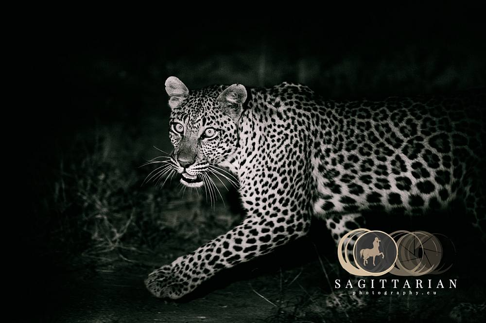 Leopard at Night   S Africa 4384