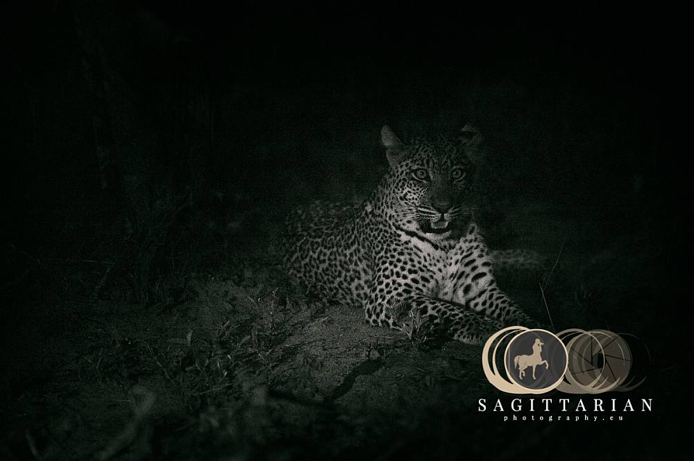 Leopard at Night Lying down b  S Africa 4360