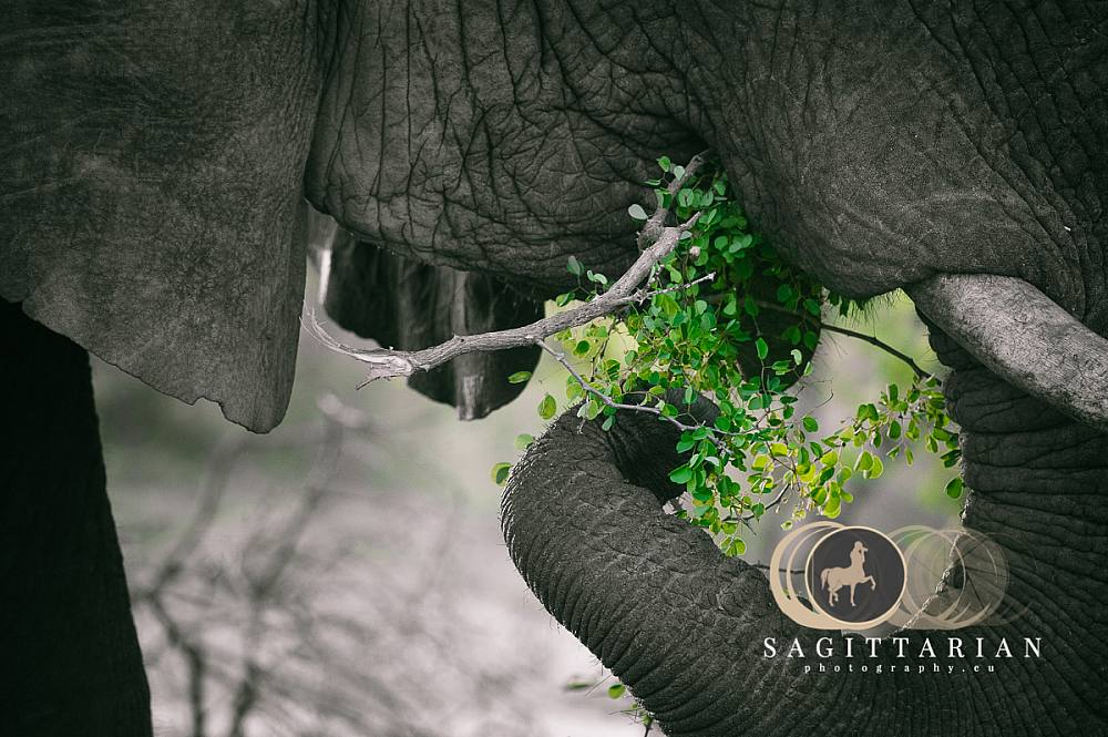 S African Elephant Eating A Branch BW 4609