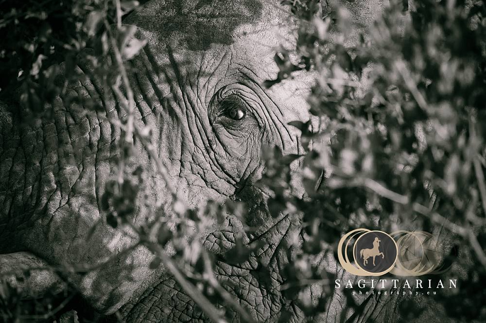 S African Elephant Behind The Bush BW 4542