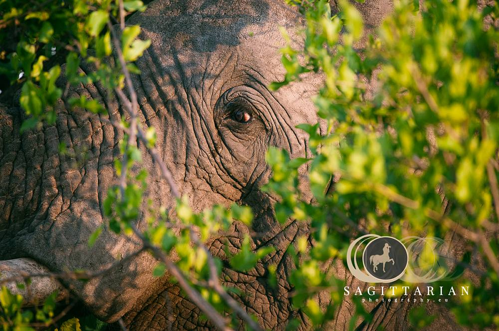 S African Elephant Behind The Bush 4542
