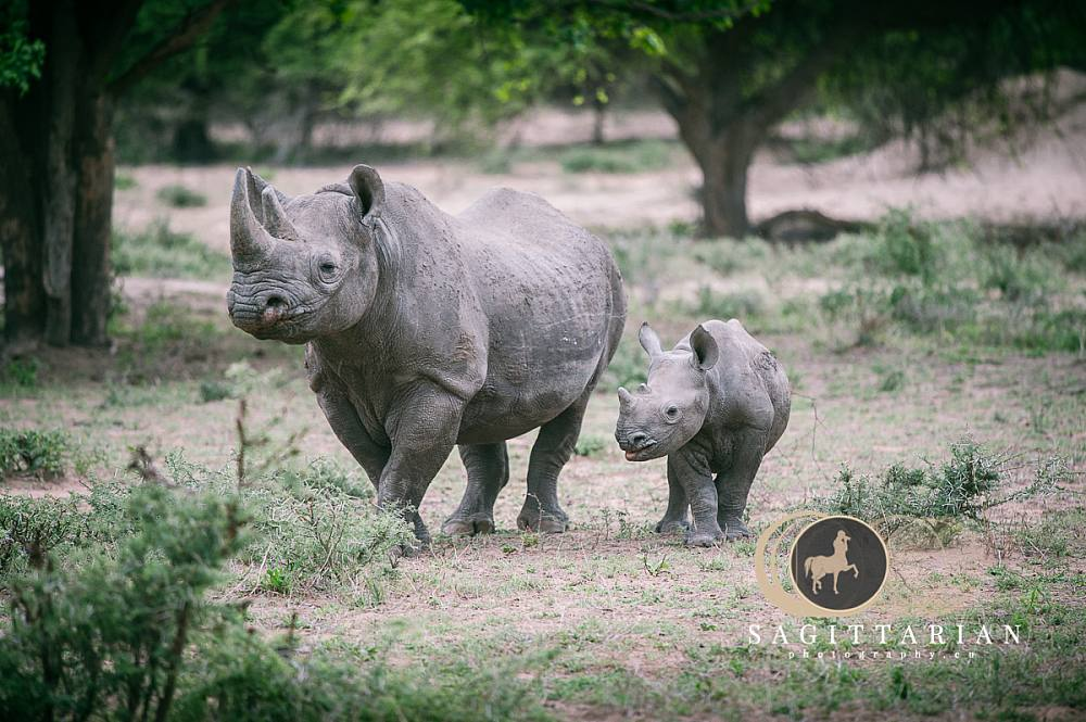 Baby Black Rhino and Mother 5655
